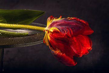 Tulipe rouge sur natascha verbij