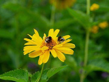 Arnika - Bienen von Henriette Tischler van Sleen