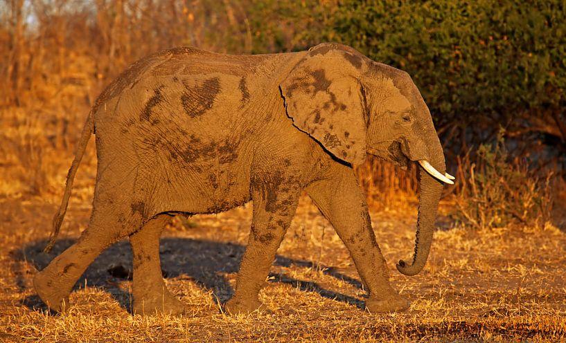 Elephant in the evening light van W. Woyke