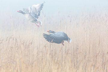 Twee wilde ganzen vliegen op uit het riet van Inge van den Brande