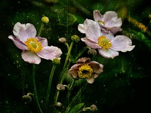 Herbstanemonen - Anemonen