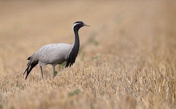 Jufferkraanvogel in rietveld van Michel de Beer