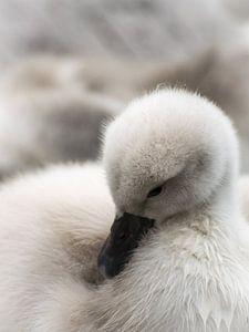 Baby zwaantje wast zich van