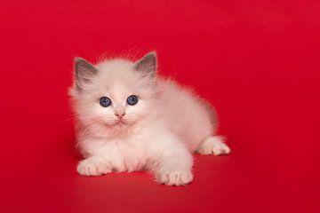 Niedliche ragdoll Kätzchen mit blauen Augen auf einem roten Hintergrund von Elles Rijsdijk