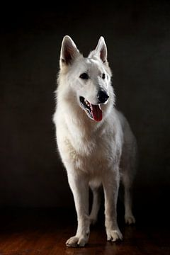 Schweizer Schäferhund von Jana Behr