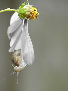 Slak en Cosmea bloem