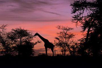 Giraffe bij het Afrikaanse dageraad in de Serengeti. van Karin Mooren