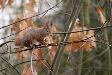 Eichhörnchen im Wald von Niels van den Berg
