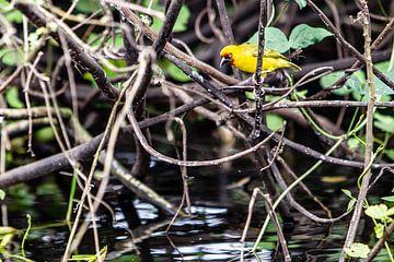 oiseau jaune près du Nil en Ouganda sur Eric van Nieuwland