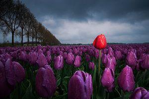 Rode tulp tussen paarse tulpen