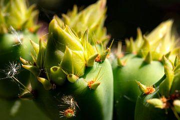 Gros plan Macro du cactus du rachis sur Marianne van der Zee