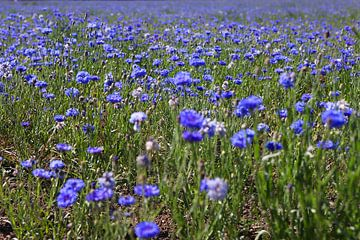Ein Feld voller Kornblumen von Karina Baumgart