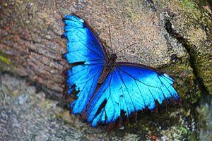 Blauer Schmetterling von Jop Fotografie
