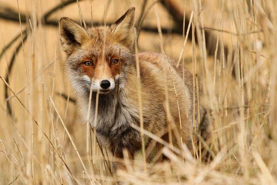 Rode vos verscholen in het riet van Paul Wendels