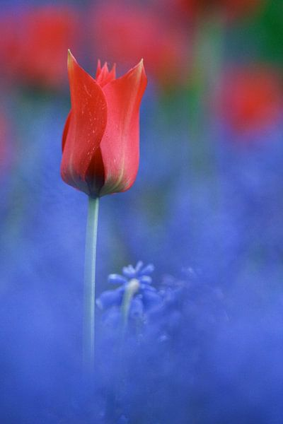 Rood - Blauw Tulp Studie van Istvan Nagy