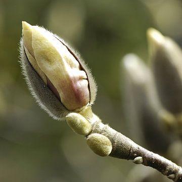 Magnolia in het voorjaar van Bargo Kunst