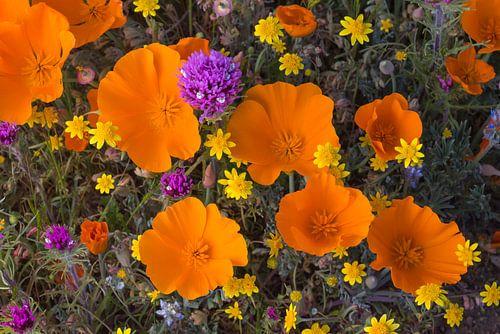 Bloeiende bloemen in Antelope Valley, Californië, Verenigde Staten van Nature in Stock