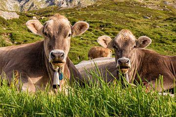 Kühe auf der Alm in den Schweizer Alpen von Werner Dieterich
