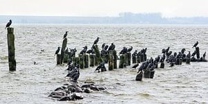 Cormorants in the Barther Bodden