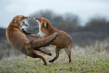 Füchse / Rotfüchse ( Vulpes vulpes ) zwei Alttiere in agressivem Kampf,  Streit, Auseinandersetzung, von wunderbare Erde