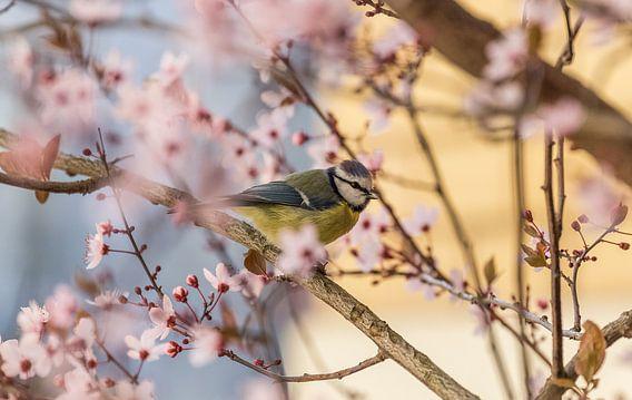 Blaumeise im Kirschbaum