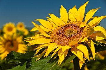 Zonnebloem von Ellen Driesse