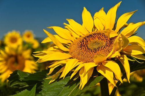 Zonnebloem van Ellen Driesse