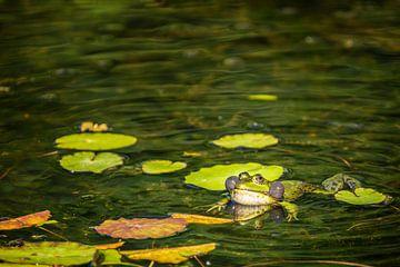 Grüner Frosch (Pelophylax) zwischen Wasserpflanzen in einem Teich von Carola Schellekens