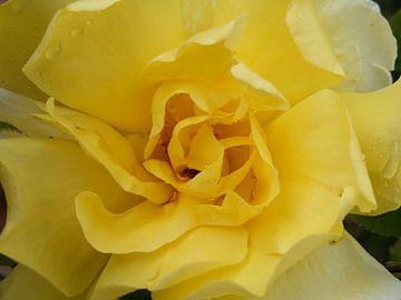 Gele roos van Mirjam van Ginkel