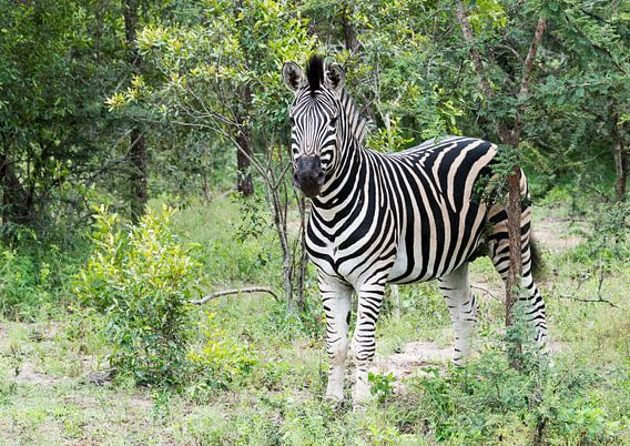 zebra in the kruger national reserve