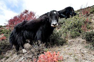 Jaks in Tibet sur Jan van Reij