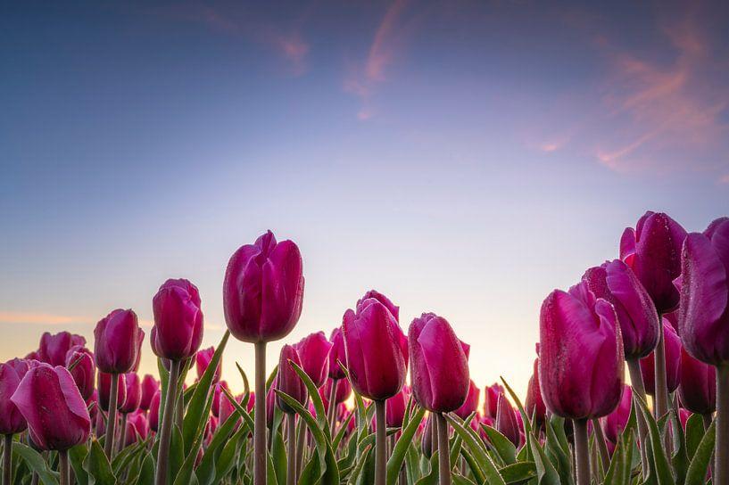 Holländische Tulpen von Alvin Aarnoutse