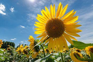 Heldergele zonnebloem in een veld met diep blauwe hemel van Fotografiecor .nl