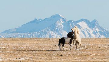 IJslandse Paarden spelen van Denis Feiner