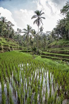 Rijstvelden - Ubud - Bali - Indonesie van Dries van Assen