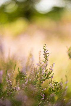 Bloeiende heide met zonnige achtergrond van Marianne Rouwendal