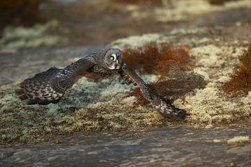 Chouette lapone (Strix nebulosa) en vol de chasse à proximité d'un terrain rocheux.