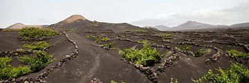 Frisgroene wijnvelden binnenland Lanzarote von Ramona Stravers