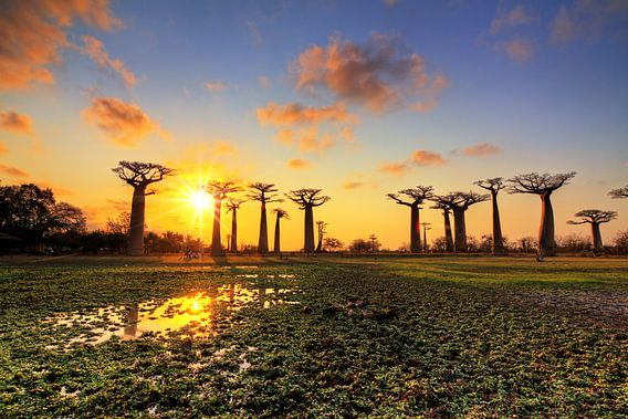 Allée des baobabs zonsondergang van Dennis van de Water