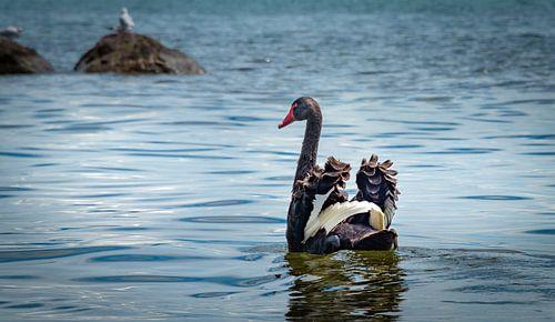Zwarte zwaan spreidt vleugels, Nieuw Zeeland