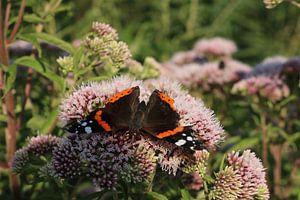 Atalanta vlinder van Rosalie Broerze