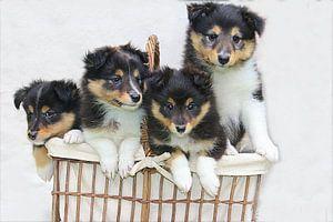 Sheltie pups van Elly Wille-Neuféglise