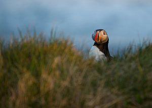Puffin in het gras