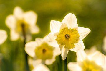 Makro gelbe Narzissen auf Wiese mit Bokeh im Frühling an Ostern von Dieter Walther