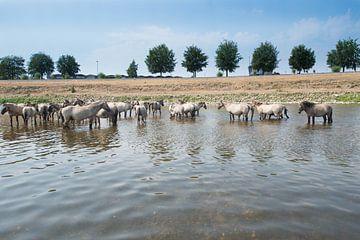 Konik Paarden staand in de rivier. van