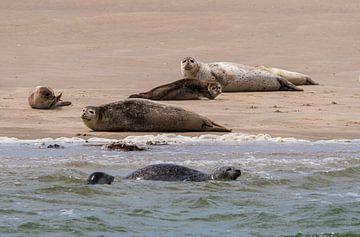 Jagd und Rast von Robben im Wattenmeer von Merijn Loch