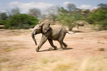 Olifant, rennend baby olifantje.lif van Louis Drent