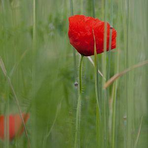 Poppy van