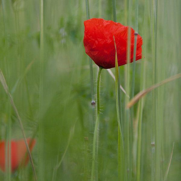 Poppy von Iwan Heeffer