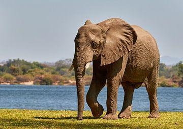 Afrikaanse olifant naast de Zambezi rivier van Jolene van den Berg